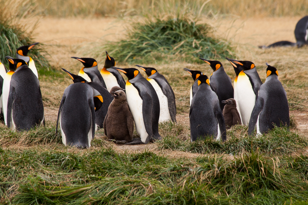 King Penguins and their chicks.