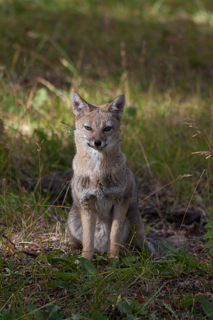 Wild fox posing for the camera.