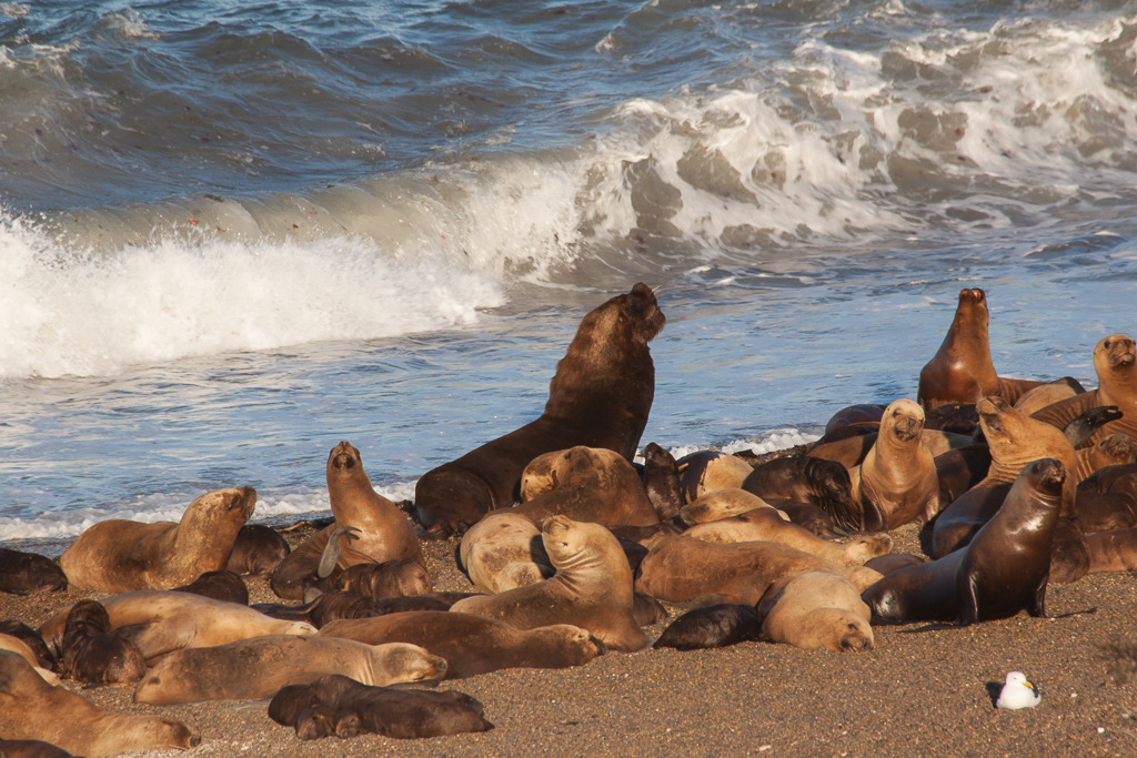 How could the orcas resist this delicious pile of sea lions?